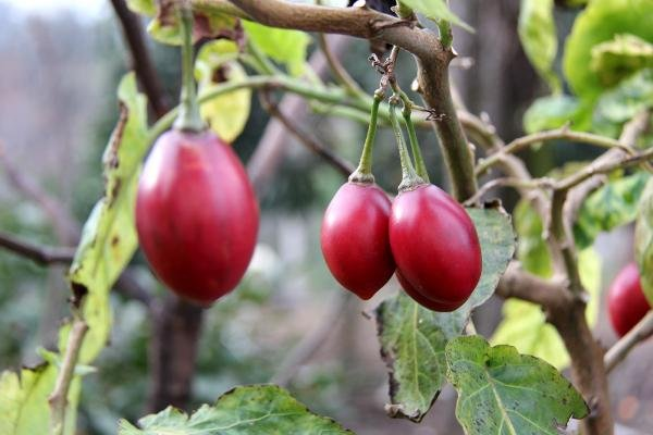 Almanya kökenli 'ağaç domatesi' Rize'de satılıyor