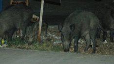 Bodrum'da domuz saldırısı