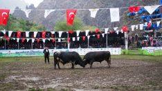Artvin Yusufeli'nde Boğa Güreşleri Festivali