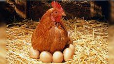 Tavuk Yumurtası Üretimi Şubat Ayında %6,7 Azaldı